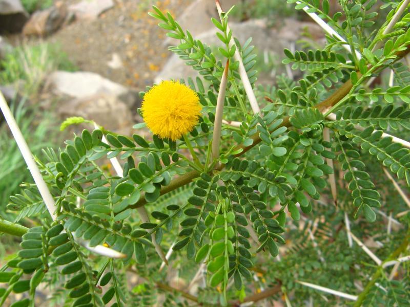 Acacia CAPENSIS