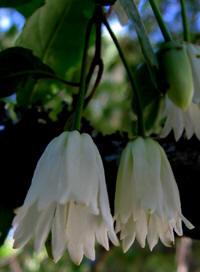 Flor de patagua